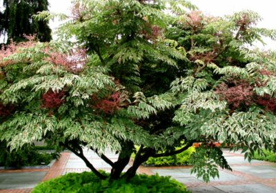 дерево аралия маньчжурская