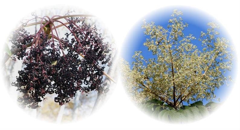 ягоды аралии маньчжурской