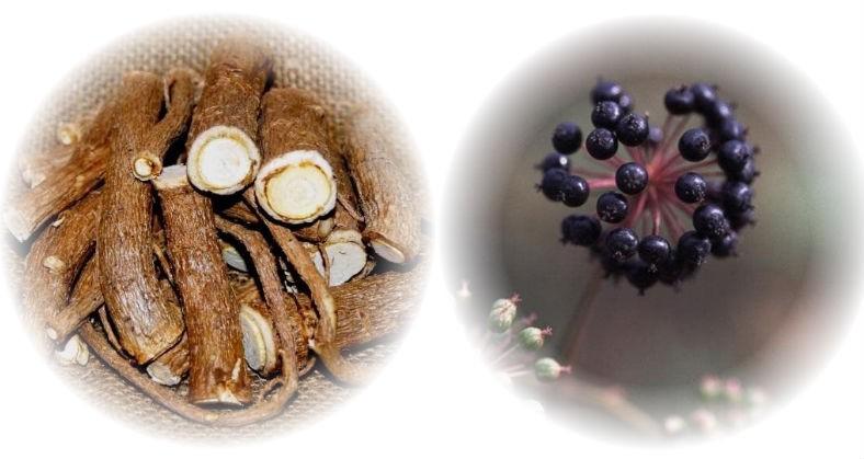 корни и плоды аралии маньчжурской