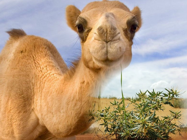 верблюжья колючка в пустыне