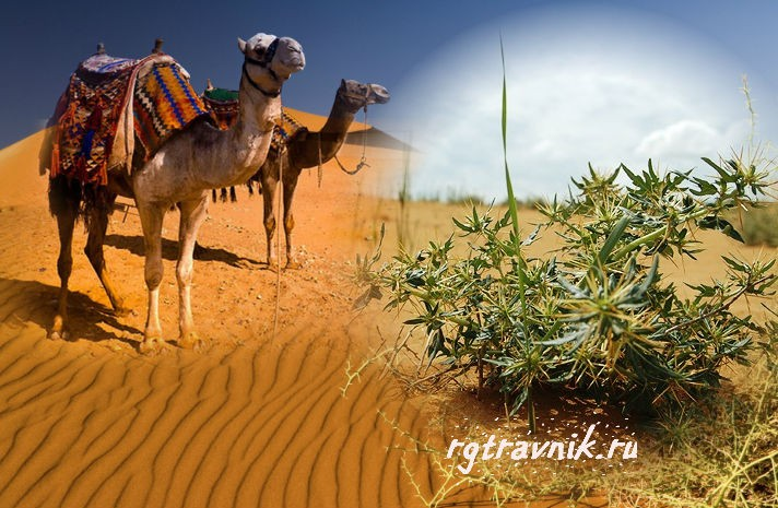 как выглядит верблюжья колючка