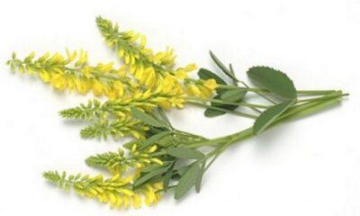 трава донника желтого