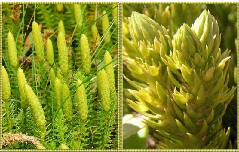 описание растения баранец