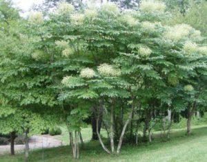 дерево аралия манчжурская