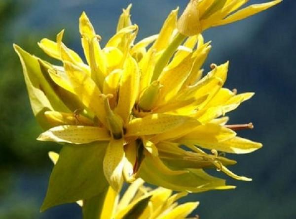 цветок горечавки