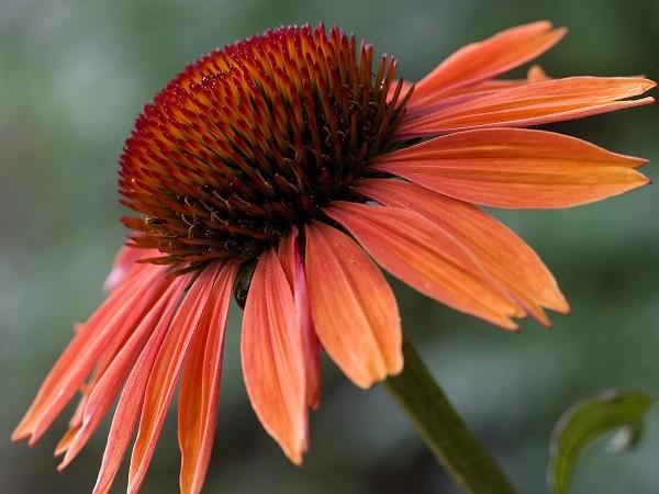 Цветы эхинацея лечебные свойства