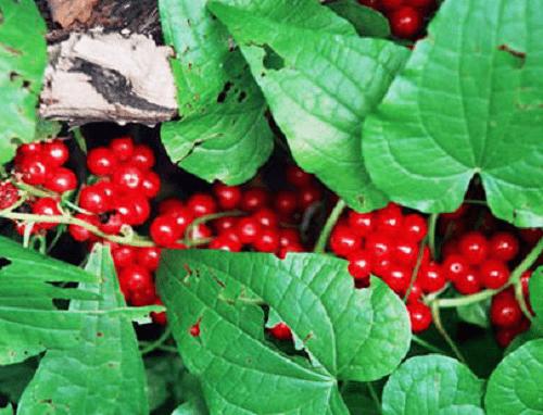 плоды лекарственного растения адамов корень