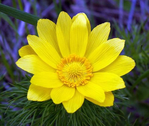 цветок адониса