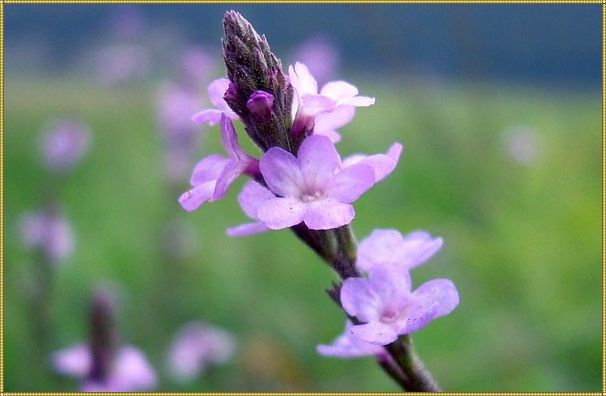 цветущая вербена