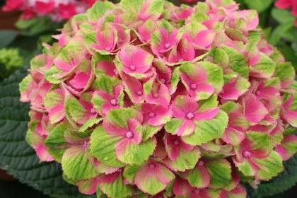 Цвет гортензия