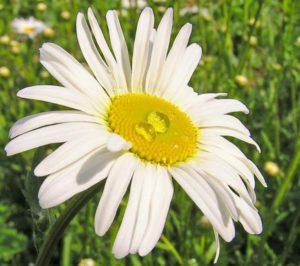 цветок нивяника