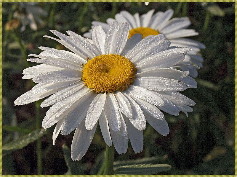 цветок нивяника обыкновенного