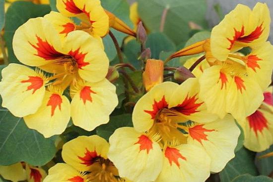 желтые цветы настурции