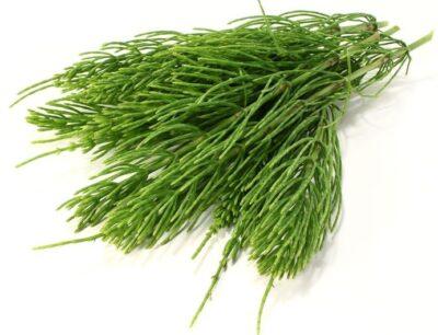 трава хвощ