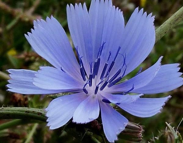 цветок цикория обыкновенного