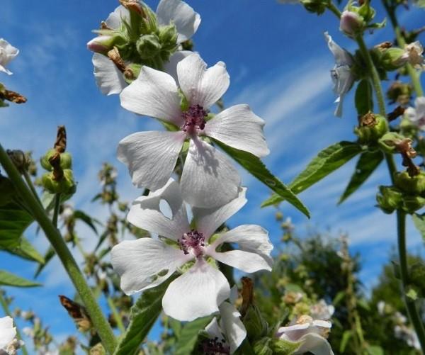 цветы алтея лекарственного
