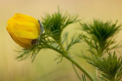 Цветок адониса лекарственного