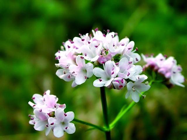 фото цветка валерианы лекарственной
