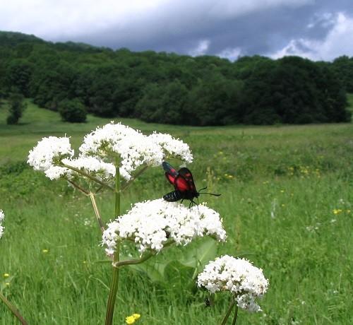 полезная трава валерианы лекарственной