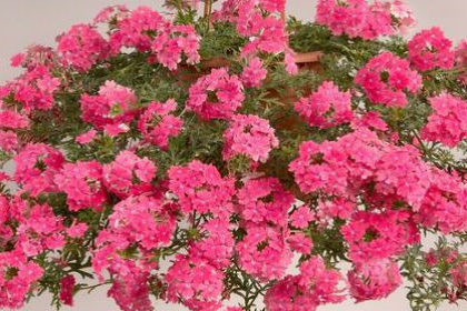 Вербена розовая