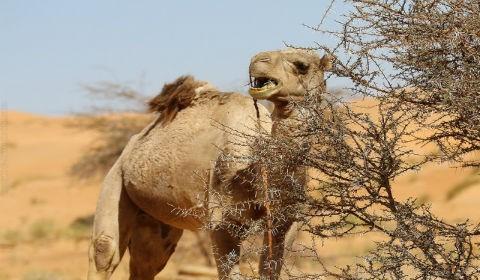 Верблюжья колючка