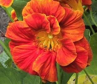 Настурция цвет