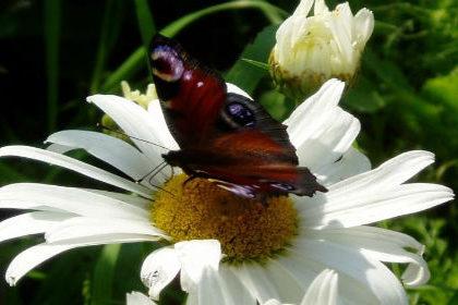 Цветы ромашки лекарственной