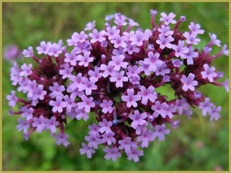 как цветет вербена