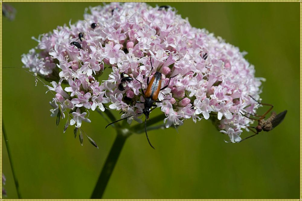 как цветет валериана