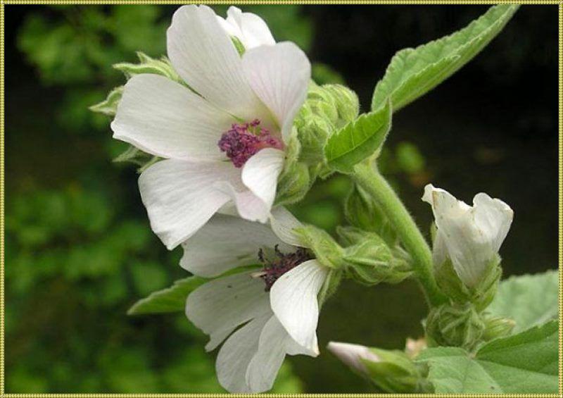 цветки алтея