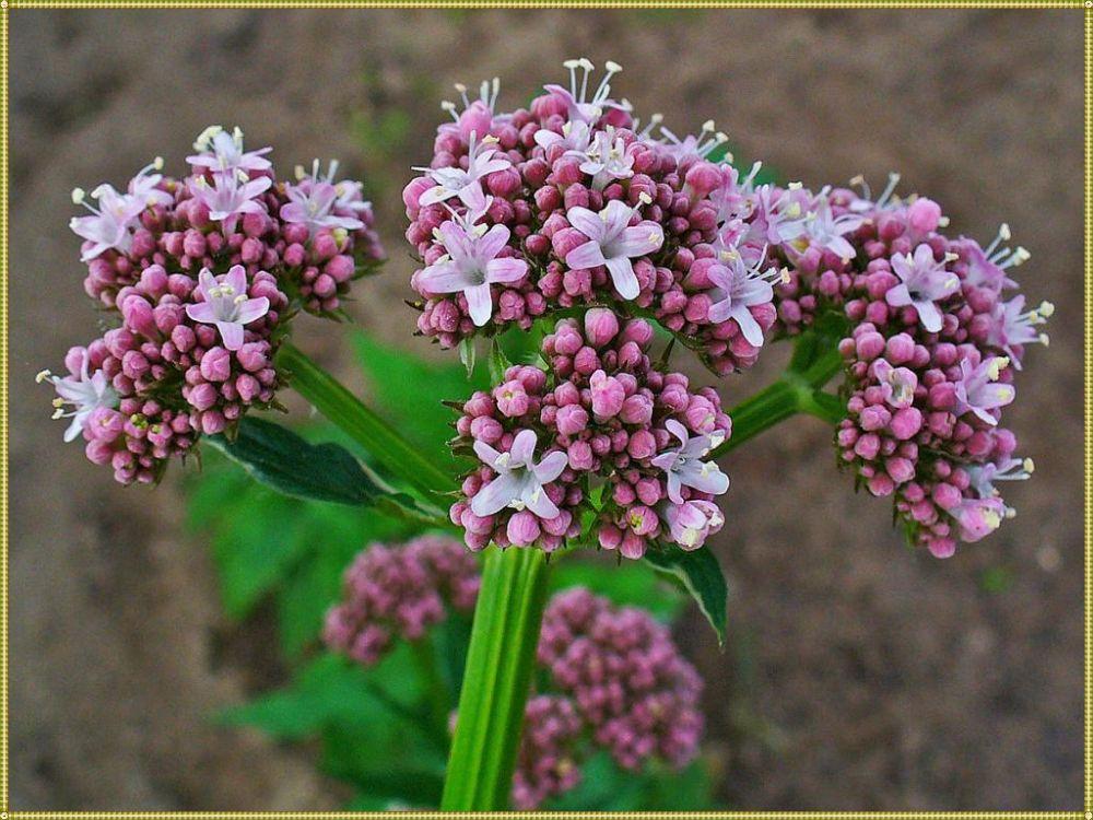 аромат валерианы