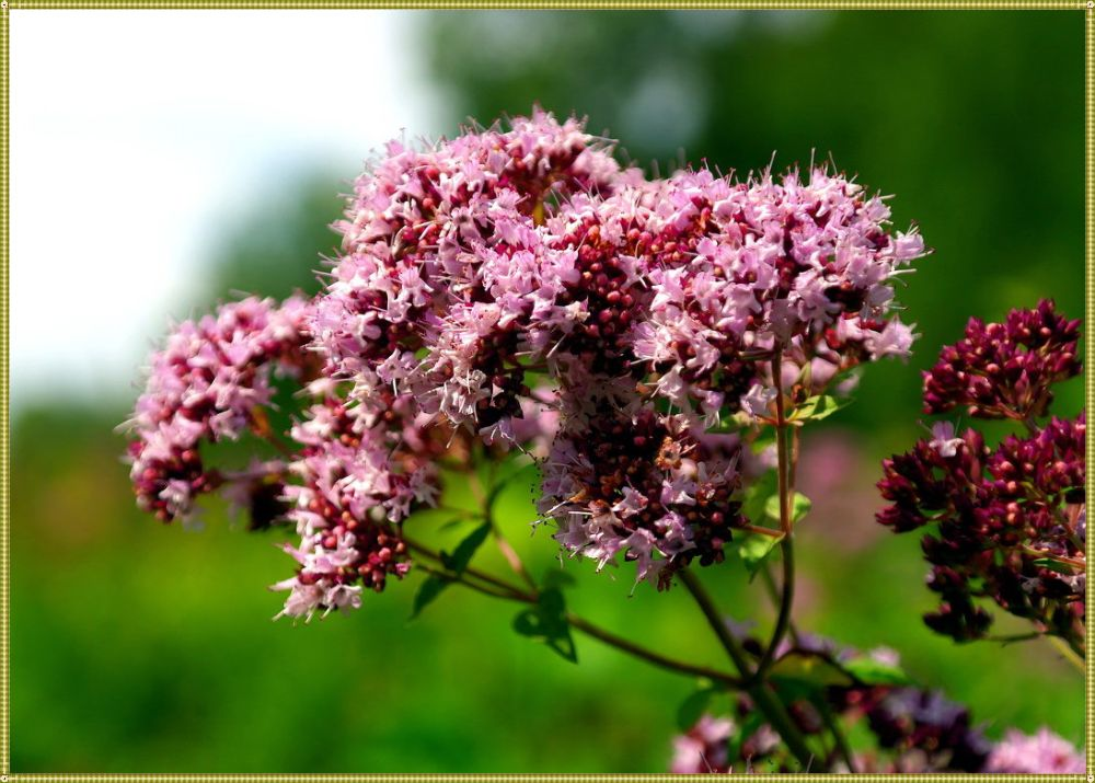 цветок валерианы