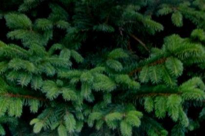 зеленая хвоя ели
