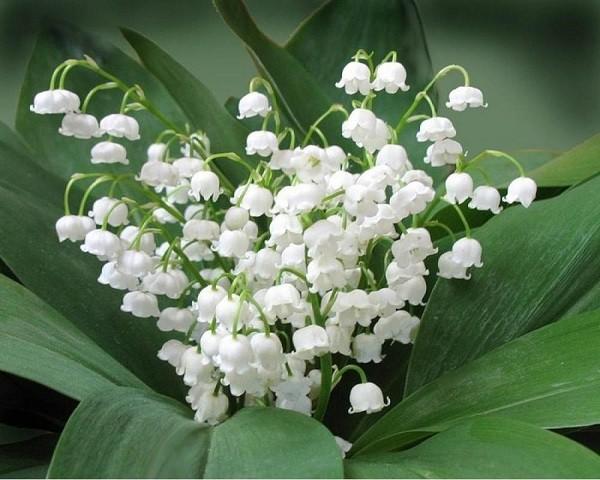 цветущий ландыш