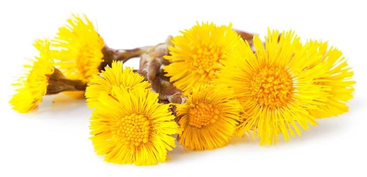 желтые цветки мать-и-мачехи