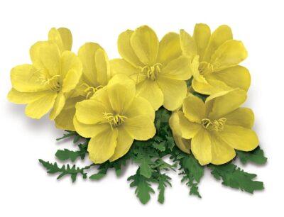 цветок примулы первоцвета