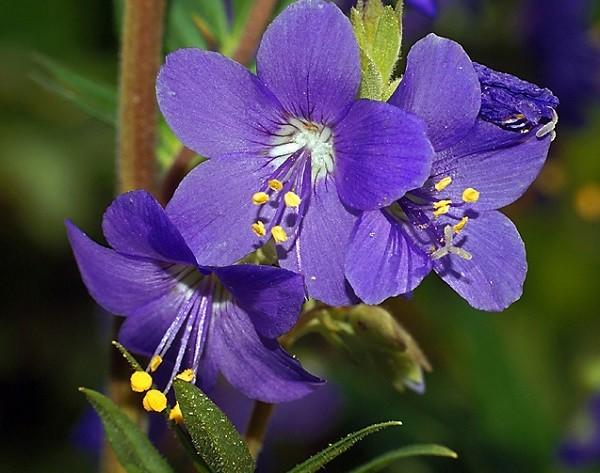 цветок синюхи голубой