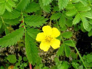 цветок лапчатки гусиной