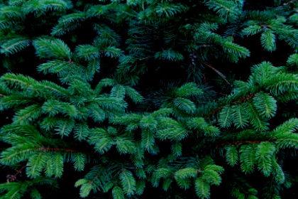 Ель хвойное дерево