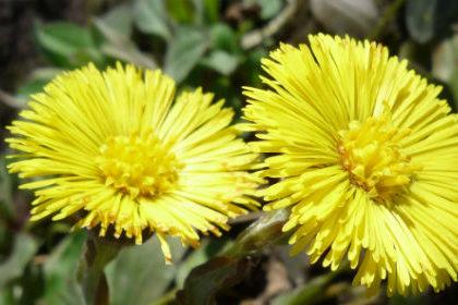 ярко-золотистые цветочки мать-и-мачехи
