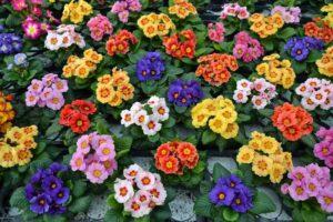 цветок примулы лекарственной