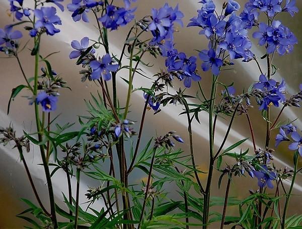 трава синюхи голубой