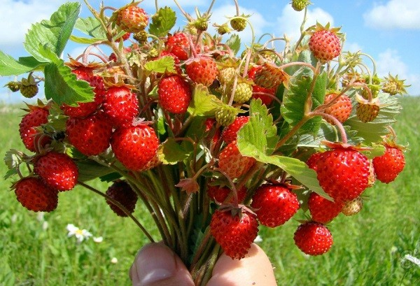 ягоды земляники лекарственной