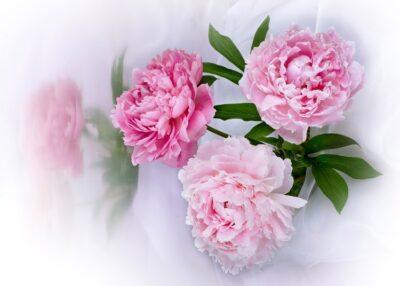 цветок пиона уклоняющегося