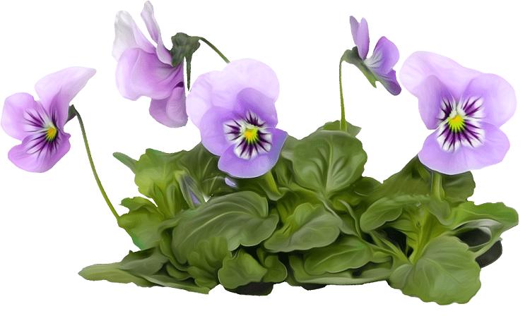 цветок фиалка трехцветная