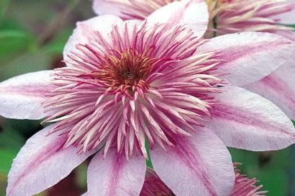 клематис бело-розовый
