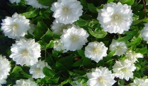 Клематис мелкоцветковый белый