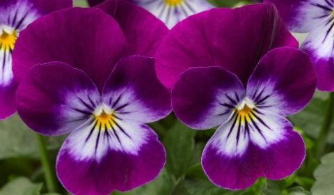 цветки фиалки трехцветной