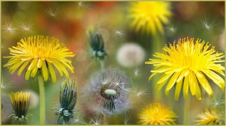как цветет одуванчик
