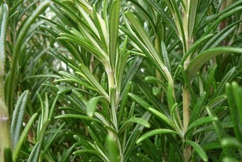 лекарственная трава розмарина